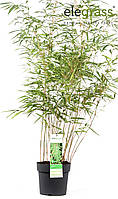 Бамбук Фаргезия Мюриэла -- Fargesia murielae  P23/H50