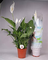 Спатифиллум Свит Лоретта -- Spathiphyllum Sweet Lauretta  P21/H100