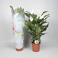 "Спатифиллум 'Сладкая Сильвана"" -- Spathiphyllum Sweet Silvana  P24/H90"