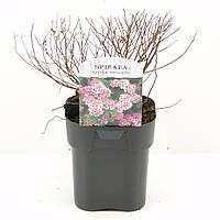 Спирея японская Little Princess -- Spiraea japonica Little Princess  P17/H25