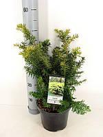 Тис ягодный Саммерголд -- Taxus baccata Summergold  P19/H50