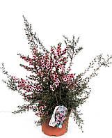 Тонкосемянник метловидный - Leptospermum scop.  P19/H50