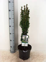 Тис ягодный Фастигиата Робуста -- Taxus baccata Fastigiata Robusta  P19/H70