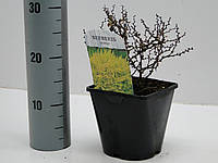 Барбарис Тунберга Ауреа -- Berberis thunbergii Aurea  P17/H20