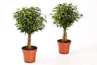 Фикус Бенджамина -- Ficus benjamina Bijzondere forms  P12/H38