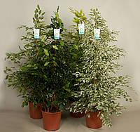 Фикус Бенджамина Mixtrolley -- Ficus benjamina Mixtrolley  P27/H150