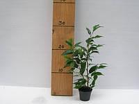 Фикус Бенджамина Natasja -- Ficus benjamina Natasja  P6/H15
