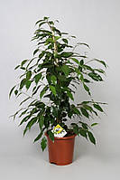 Фикус Бенджамина Данита -- Ficus benjamina Danita  P17/H70
