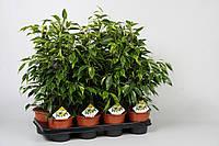 Фикус Бенджамина Анастасия -- Ficus benjamina Anastasia  P14/H55