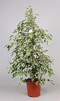 Фикус Бенджамина Twilight -- Ficus benjamina Twilight  P21/H105