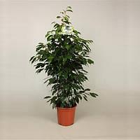Фикус Бенджамина Даниэль -- Ficus benjamina Danielle  P21/H105
