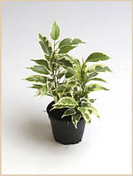 Фикус Бенджамина Николь -- Ficus benjamina Nicole  P6/H15