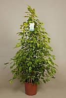 Фикус Бенджамина Реджинальд -- Ficus benjamina Reginald  P27/H145