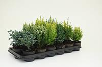 Хвойные микс -- Conifers mixed  P9/H15