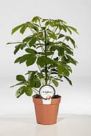 Шеффлера древовидная Нора -- Schefflera arboricola Nora  P13/H45