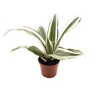 Драцена душистая White Jewel -- Dracaena frag. White Jewel  P6/H15