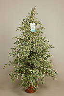 Фикус Бенджамина 'Звёздный свет' -- Ficus benj. Starlight  P27/H135