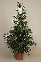 Фикус Бенджамина 'Полуночная Леди' -- Ficus benj. Midnight Lady  P27/H145