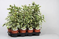 Фикус Бенджамина 'Саманта' -- Ficus benj. Samantha  P14/H55