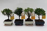 Бонсай микс -- Bonsai mixed  P12/H22