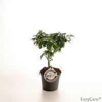 Бонсай Перечное дерево -- Bonsai Zanthoxylum Piperitum  P11/H35