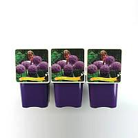 Аллиум (Лук декоративный) Bol -- Allium (bol)  P21/H5
