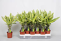 Драцена душистая Yellow Coast -- dracaena fragrans Yellow Coast  P11/H40