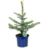 Ель голубая (колючая) -- Picea pungens  P23/H40