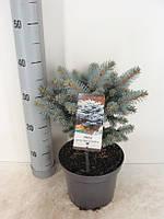 Ель голубая (колючая) Глаука Глобоза -- Picea pungens Glauca Globosa  P19/H35