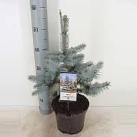 Ель голубая (колючая) Хупси -- Picea pungens Hoopsii  P19/H60