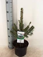 Ель голубая (колючая) Глаука -- Picea pungens Glauca  P19/H60