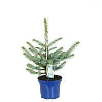 Ель голубая (колючая) Костер -- Picea pungens Koster  P23/H50
