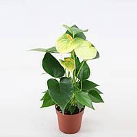 "Антуриум ""Ваниль"" -- Anthurium Vanilla  P7/H25"