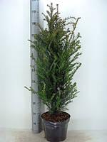Тис ягодный -- Taxus baccata  P26/H110
