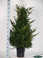 Тис ягодный -- Taxus baccata  P27/H140