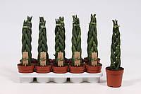 Сансевиерия цилиндрическая -- Sansevieria cylindrica  P12/H40