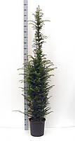 Тис ягодный -- Taxus baccata  P32/H185