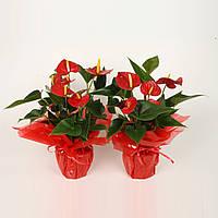 """Антуриум """"Красный Бриллиант"""" -- Anthurium Diamond Red  P12/H40"""