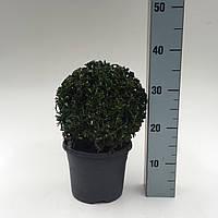 Самшит вечнозеленый -- Buxus sempervirens  P19/H35