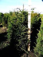 Тис ягодный -- Taxus baccata  P35/H140