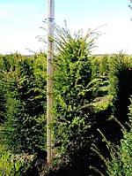 Тис ягодный -- Taxus baccata  P35/H180
