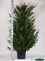 Тис ягодный -- Taxus baccata  P35/H190