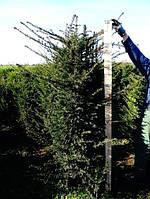 Тис ягодный -- Taxus baccata  P35/H200