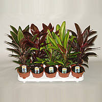 Кордилина микс -- Cordyline mixed  P12/H35