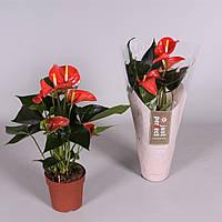 Антуриум андре Матиз -- Anthurium andreanum Matiz  P12/H40