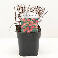 Лапчатка (пятилистник) кустарниковая -- Potentilla frut.  P17/H25