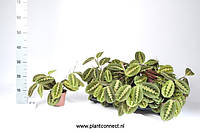 Маранта беложилковая Fascinator -- Maranta leuconeura Fascinator  P12/H25