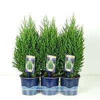 Можжевельник китайский Стрикта -- Juniperus chinensis Stricta  P15/H50