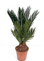 Пальма цикас Революта -- Cycas Revoluta  P12/H45