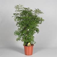 Полисциас кустарниковый -- Polyscias fruticosa  P21/H105